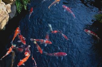 日本庭園の池で鯉や鯉を泳ぐ