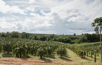 Field of dragon-fruit plantation in Thailand, This is favorite fruit in Asia