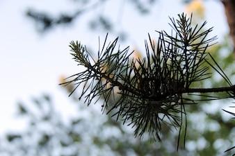Fir tree close up