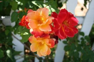 Firey roses, roses