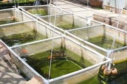 Fish nursery, koi