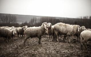 Flock of sheeps in the fields