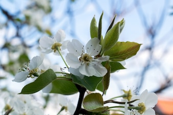 Flowering branch of pear.Pear blossom in early spring