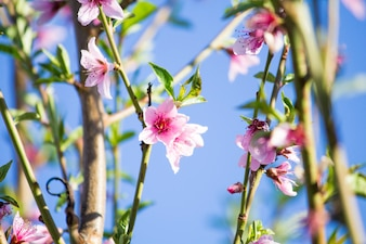 Flowering peach tree. Flowering branches. Peach bloom