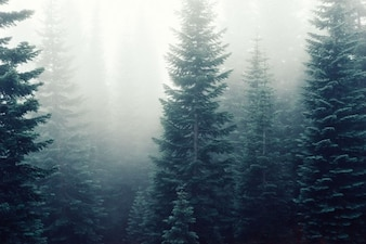 Fog above the pines