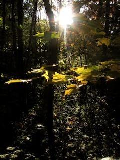 forest light  woods