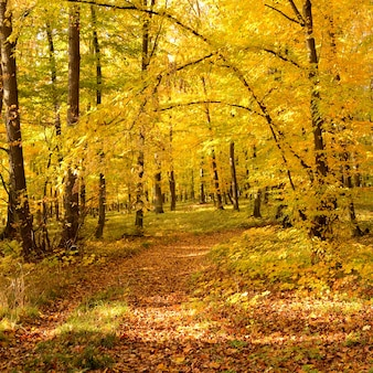 Forest with golden leaves