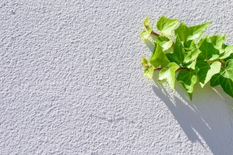 Fresh ivy green leaves climbing on white textured wall background.