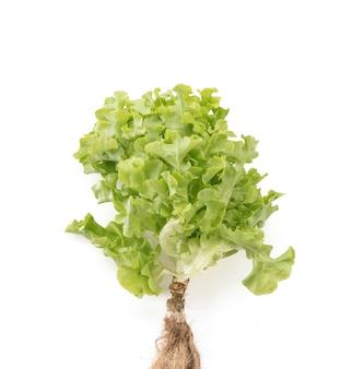 Fresh oak leaf lettuce