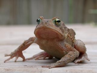 Frog, closeup