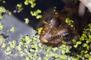 Frog, eyes
