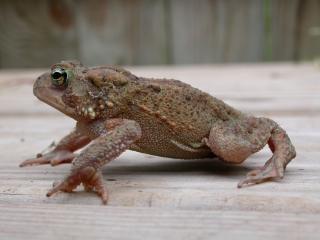 Frog, reptile
