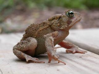 Frog, sitting