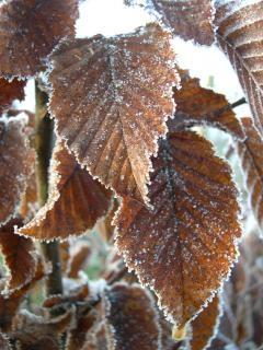 Frosty leaves, frozen