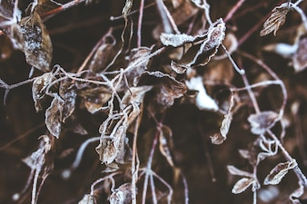 Frozen dry branches