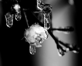frozen rose  beautiful