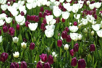 Garden with purple and white tulips