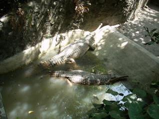 Gators at Surabaya Zoo, gators