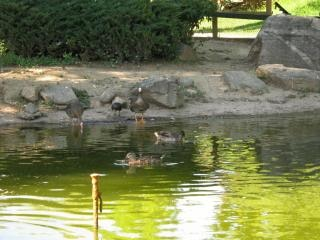 geese  gooses