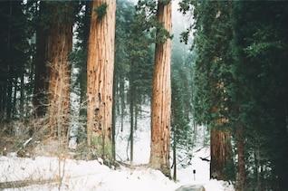 Giant trees