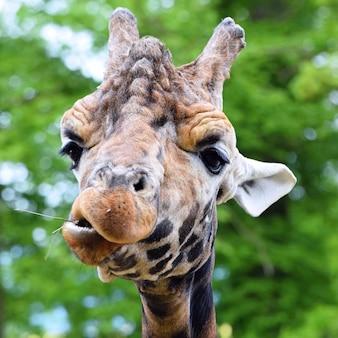 Giraffe chewing plant