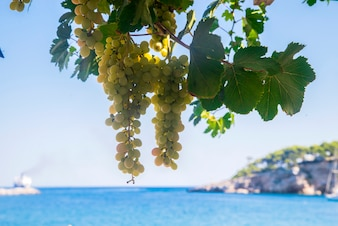 Glowing sunlit white wine grapes on blue sea and sky background