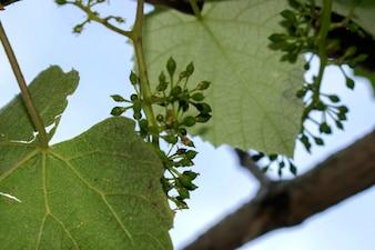 Grape leaves over defocused background of grapevine. Macro closeup