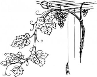 Grapevine 2