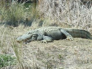 grass happy alligator sun bathing day