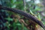 grasshopper on wire