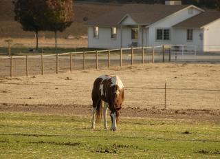 Grazing Mustang