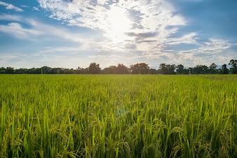 欲望の稲田と日差しと青空の雲