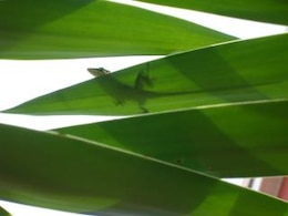 Green Anole, anole