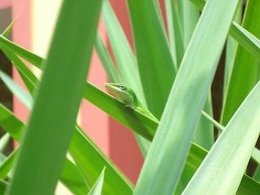 Green Anole, plants