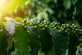 Green arabica coffee fruits on tree close up short and take under lighting sceen, Image present agriculture feel and can useful in document in seminar or  organic product package background