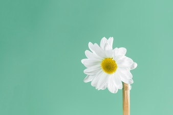 Green background with pretty daisy