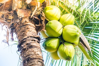 Green coconuts hanging from a palm tree
