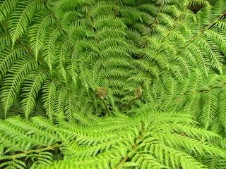 Green fern, fern