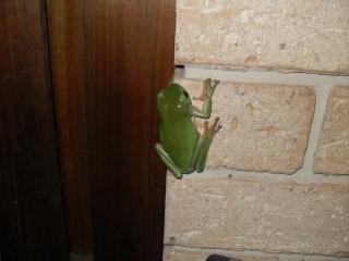 green frog   reptile
