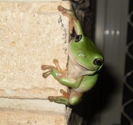 green frog  reptile  green