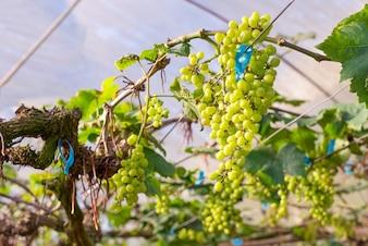 зеленый виноград на дереве в винограднике