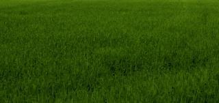 Green grass texture, grass