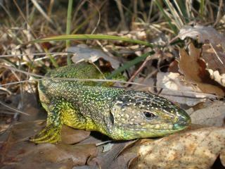 green lizard  lizard