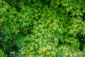 Green maple leaves background.