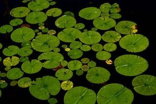 Green nenuphars