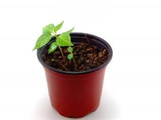 Green plant, seedling
