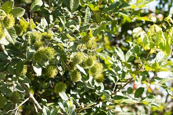Green rambutan fruit on tree