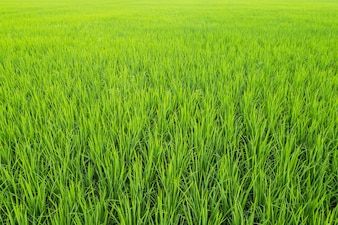 Green rice field for background