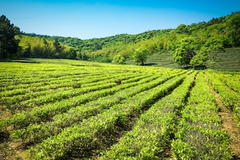 緑茶園、ヒル栽培