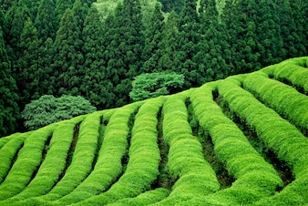 Green tea plantation in south east asia